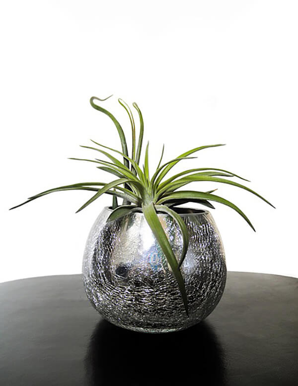 Air plants (Indoor plants that do not need a lot of sun light)