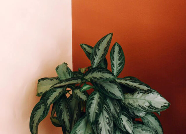 Chinese Evergreen (Indoor plant that does not need a lot of sun light)