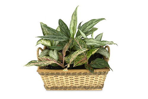 Dieffenbachia (Indoor plant that does not need a lot of sun light)