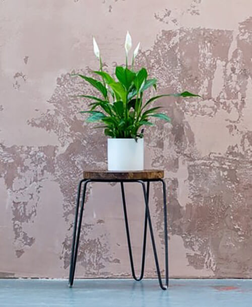 Peace lily( Indoor plants that do not need a lot of sun light)
