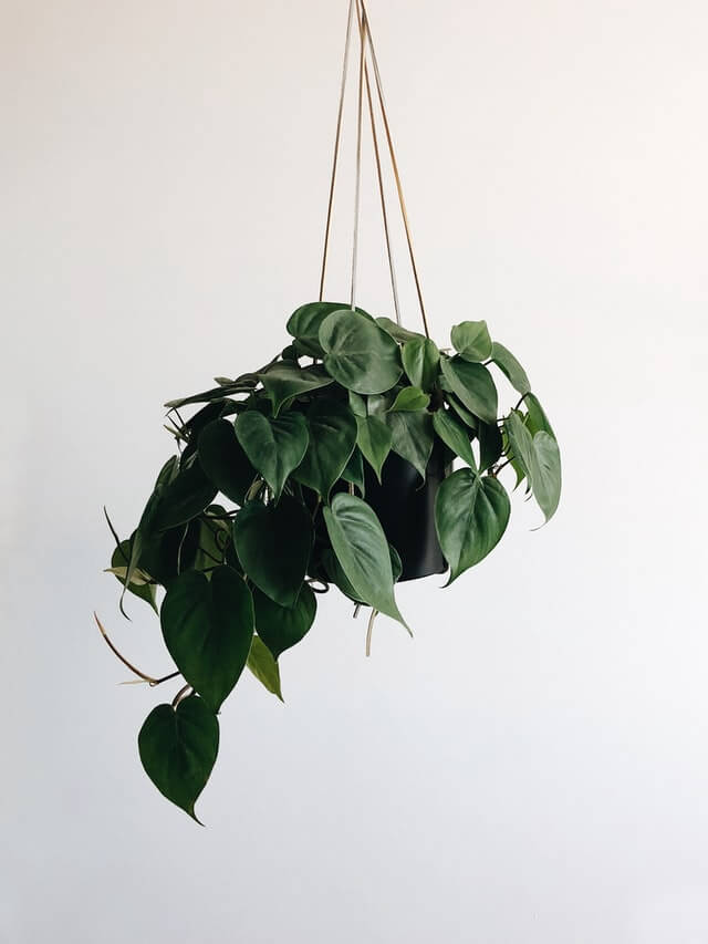 Pothos  (Indoor plant that does not need a lot of sun light)