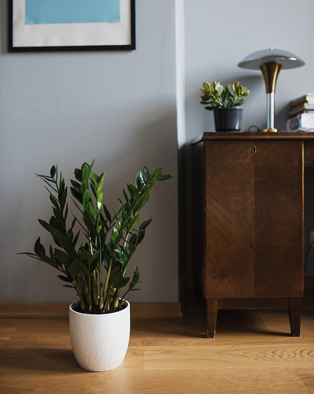 ZZ Plant (Indoor plants that do not need a lot of sun light)