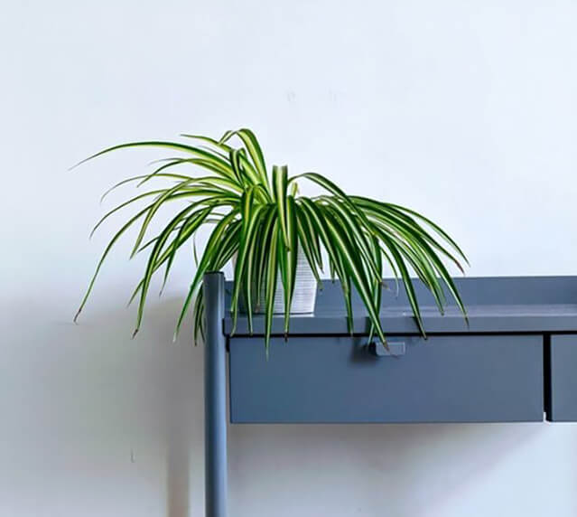Spider Plant (Indoor plant that does not need a lot of sun light)