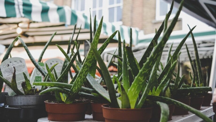 Aloe Vera Gel for beauty