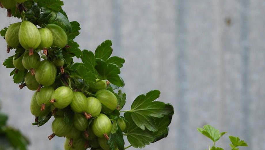 gooseberry-4257241_640 (1)